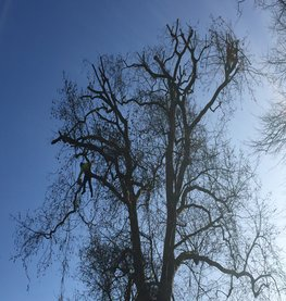 Large London plane tree reduction South London Lewisham